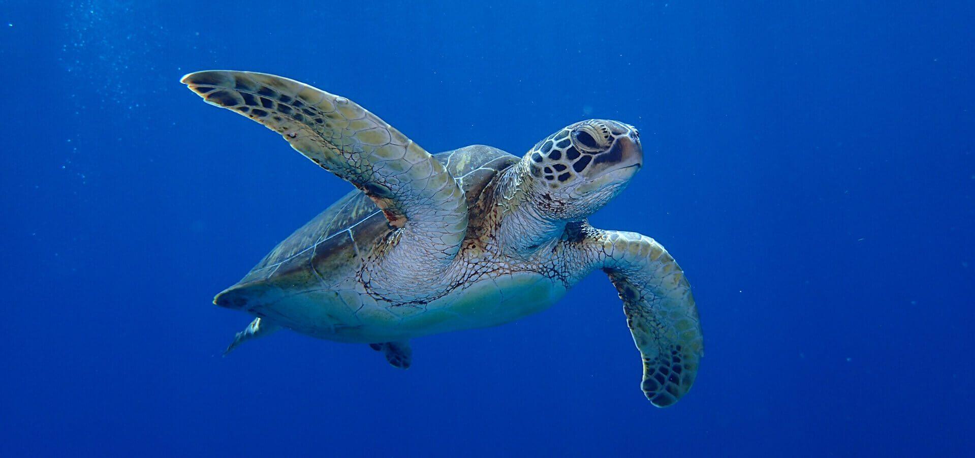 沖縄のダイビングスポットで好評のウミガメ